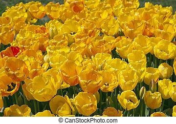 amarillo, tulipanes, campo