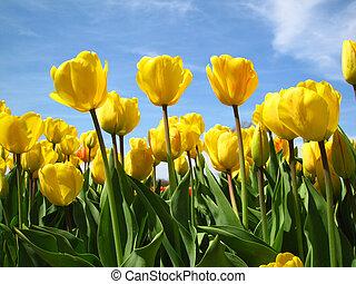 amarillo, tulipanes, en el flor, durante, el, primavera