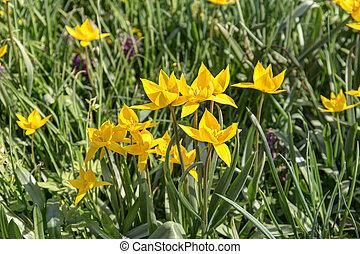 amarillo, tulipanes, en, el, primavera