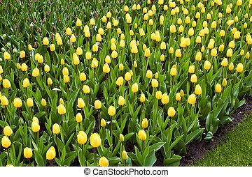 amarillo, tulipanes, en, keukenhof, jardín, países bajos