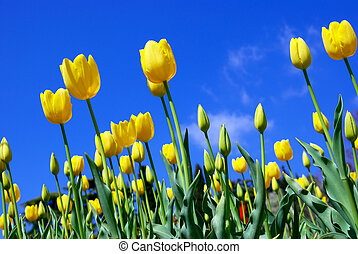 amarillo, tulipanes, y, cielo
