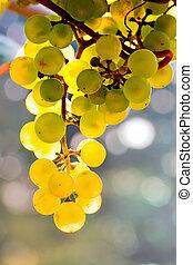 amarillo, uvas, crecer, en, vid, en, brillante, sol