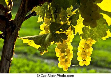 amarillo, uvas
