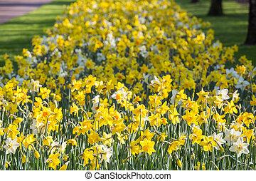 amarillo y blanco, tulipanes, campo