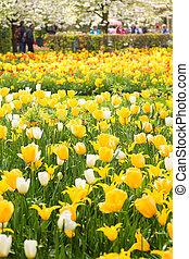 amarillo y blanco, tulipanes, en, primavera, en el estacionamiento