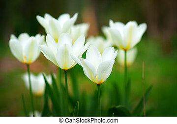 amarillo y blanco, tulipanes