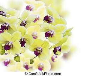 amarillo, y, púrpura, orquídea, flores