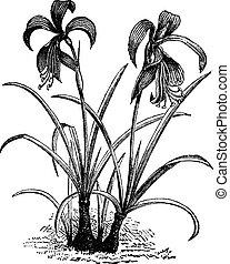Amaryllis formosissima, belladonna lily or naked lady flower vintage engraving. Two amaryllis flowers blooming. Vector illustration.