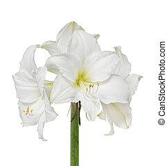 amaryllis, flor blanca