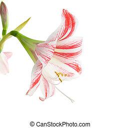 amaryllis, flor, rojo
