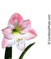 amaryllis, flor rosa, aislado, en, w
