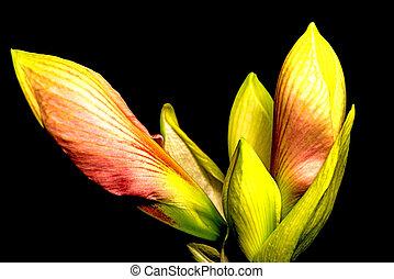 Amaryllis, flower in a closeup