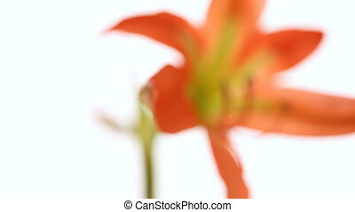 Amaryllis flower in blossom on white background