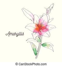 Amaryllis flower painting on white background