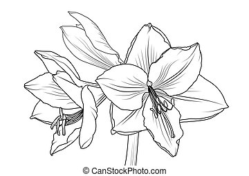 Amaryllis hippeastrum lilly flower isolated black and white outline sketch drawing. Closeup macro front view. Spring floral bouquet foliage element. Vector design illustration.