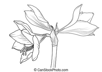 Amaryllis hippeastrum lilly flower side view macro -...