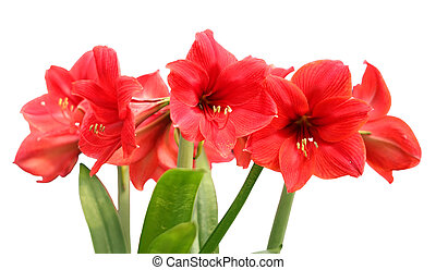 Fleur rose amaryllis isol fond blanc photographies de for Amaryllis taille