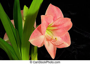Amaryllis on black 01