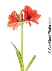amaryllis, op, witte achtergrond, bloeien