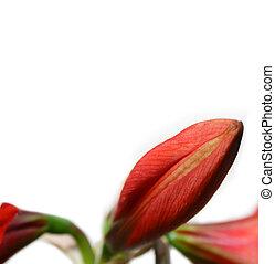 amaryllis, rojo
