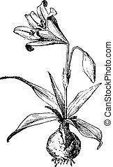 Amaryllis, vintage engraving. - Amaryllis, vintage engraved...
