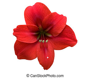 Amaryllis with Clipping Path