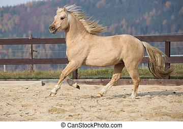amazaing, 子馬, ウェールズ, 動くこと, トウモロコシの穂軸, palomino, タイプ