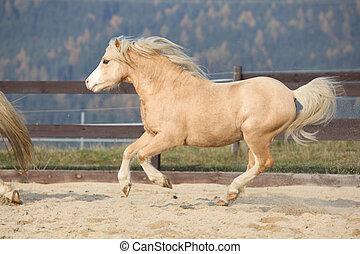 amazaing, 山, 子馬, ウェールズ, 動くこと, palomino