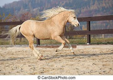 amazaing, berg, pony, welsh, rennende , palomino