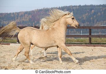 amazaing, pony, welsh, rennende , maïskolf, palomino, type
