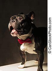 amazed french bulldog puppy dog wearing bowtie in studio, ...