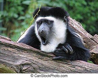 Amazement - Amazed gibbon