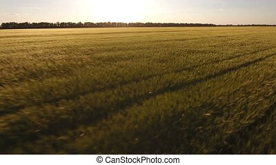 Amazing aerial shot of an wheat field at sunset,