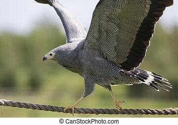 Amazing animal. African harrier hawk bird of prey balancing ...