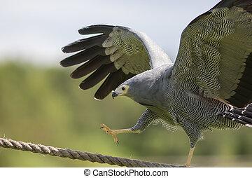 Amazing animal on display. African harrier hawk bird of prey...