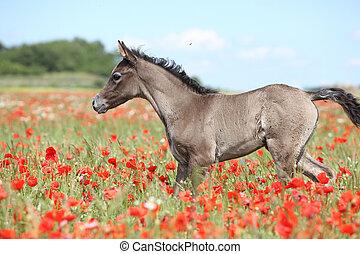 Amazing arabian foal running alone in red poppy field