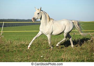 Amazing arabian stallion running on meadow