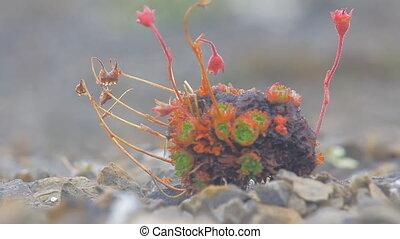 Amazing Arctic desert plants. Novaya Zemlya archipelago -...