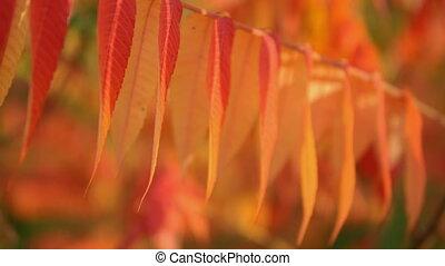 amazing autumnal branch with foliage - slow pan orange...