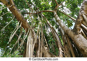 Amazing Banyan Tree in forest