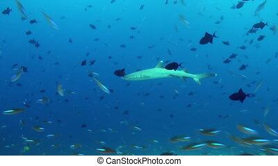 Amazing, beautiful underwater marine life world of sea creatures in Maldives.