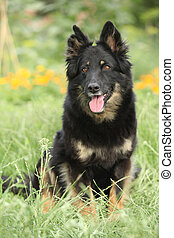 Amazing Bohemian Shepherd in the garden