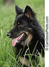 Amazing Bohemian Shepherd in the garden