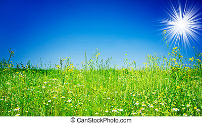 Amazing camomiles, sun and blue sky.