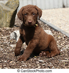 Amazing chesapeake bay retriever puppy sitting in the garden