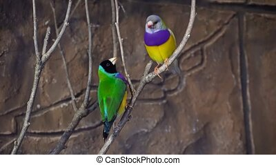 Amazing close up 4k view on rainbow colorful tropical birds parrots sitting on tree branch talking in wild nature
