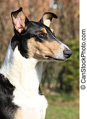 Amazing Collie Smooth in the garden in spring