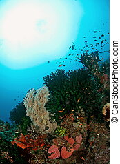 amazing coral reef - An underwater view at Ambon, Maluku, ...