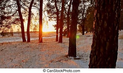 Amazing evening motion sunset winter landscape. christmas tree beautiful winter forest snow sun a glare