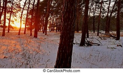Amazing evening motion winter landscape. Christmas sunset tree beautiful winter forest snow sun a glare